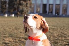 Funny beagle dog. Play on the green grass in sunny day royalty free stock image