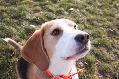 Funny beagle dog. Play on the green grass in sunny day stock photography