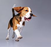 Funny beagle dog  on grey Royalty Free Stock Photo