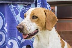 Funny beagle dog peering Stock Images