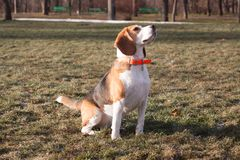 Funny beagle dog. Play on the green grass in sunny day stock photo