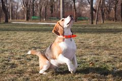 Funny beagle dog. Play on the green grass in sunny day royalty free stock images