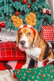 Funny beagle dog posing as a deer and shows tongue near a Cristmas tree. Funny beagle dog in reindeer horns shows tongue near a New Year tree Stock Photos