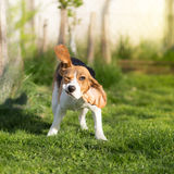Funny Beagle dog shaking Stock Images