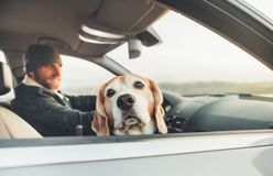 Funny beagle dog traveling with his owner looks out from car royalty free stock images