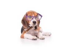 Funny Beagle in glasses Royalty Free Stock Photos