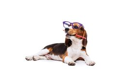 Funny Beagle in glasses with pencil. Funny little dog in glasses with pencil lying on white background Royalty Free Stock Photography