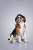Funny beagle with a hat on his head Stock Photo
