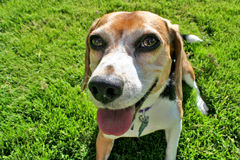 Funny Beagle portrait. Funny portrait of cute tricolor Beagle dog with green grass background Stock Photos