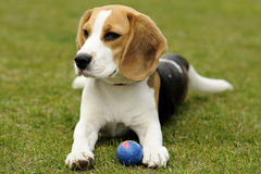 Funny beagle puppy with ball. Beagle cub with blue ball Stock Photography