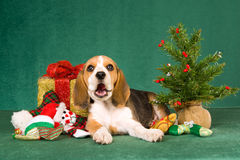 Funny Beagle puppy with Chrismas tree. Beagle puppy lying on green background with Christmas tree, gifts and toys Stock Photo