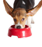 Funny beagle puppy eating. From a dish, ears up, isolated on white Royalty Free Stock Image