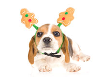 Funny Beagle puppy gingerbread man hat Stock Photos