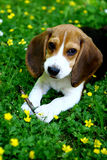 Funny beagle puppy in  park Stock Photo