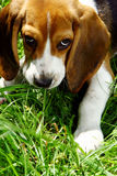 Funny beagle puppy in  park Royalty Free Stock Photo
