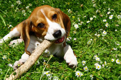 Funny beagle puppy in  park Royalty Free Stock Images