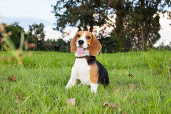 Funny beagle puppy portrait Royalty Free Stock Photography