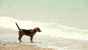 Funny beagle puppy wants to swim but afraid waves Stock Photos