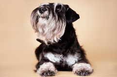 Funny bearded dog portrait Royalty Free Stock Photography