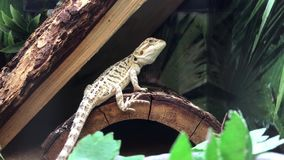 Funny bearded dragon in cage. Inside petsmart store stock video