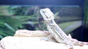 Funny bearded dragon in cage. Inside petsmart store stock footage