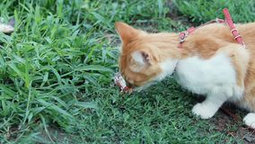 Funny beautiful amazing cute red white cat in red collar eating fresh fish on the outdoor, sunny summer good day. Shallow depth of the field, toned video stock footage