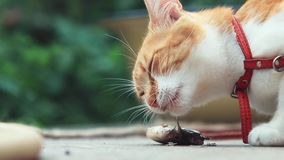 Funny beautiful amazing cute red white cat in red collar eating fresh fish on the outdoor, sunny summer good day. Shallow depth of the field, toned video stock video