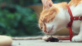 Funny beautiful amazing cute red white cat in red collar eating fresh fish on the outdoor, sunny summer good day. Shallow depth of the field, slow motion toned stock video