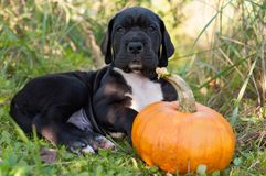 Great Dane dog and pumpkin. Funny beautiful black Great Dane dog puppy and pumpkin Royalty Free Stock Photo