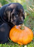 Great Dane dog and pumpkin. Funny beautiful black Great Dane dog puppy and pumpkin Stock Photography