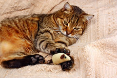 Funny, beautiful cat playing with the mouse Royalty Free Stock Photo