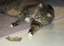 Funny beautiful cat playing with a mouse. Selective focus. Focus on mouse. Funny beautiful cat playing with a mouse. Selective focus. Focus on the mouse royalty free stock images