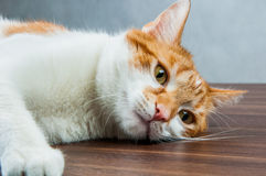 Funny beautiful, domestic cat Royalty Free Stock Image