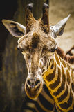 Funny beautiful giraffe in a zoo park Stock Photos