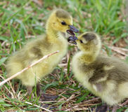 Funny beautiful isolated image with a pair of cute chicks in love Stock Photography
