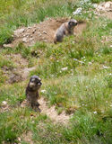 Funny beautiful marmot in Alps Stock Photography