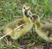 Funny beautiful photo of two young chicks of the Canada geese in love Royalty Free Stock Photos