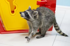Beautiful raccoon in the zoo Stock Images
