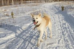Funny beautiful redhead smiling Japanese Akita Inu dog runs along a rustic snowy road in winter on a sunny warm day. Funny beautiful redhead smiling Japanese royalty free stock photo