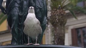 Funny beautiful seagull relaxing on edge of fountain, birds survival in city. Stock footage stock footage