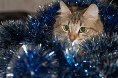 Funny beautiful siberian cat near Christmas spruce. With gifts and toys over blue background Stock Image