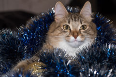 Funny beautiful siberian cat near Christmas spruce. With gifts and toys over blue background Stock Photography