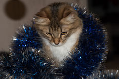 Funny beautiful siberian cat near Christmas spruce. With gifts and toys over blue background Stock Photo