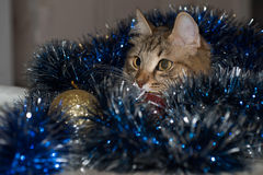 Funny beautiful siberian cat near Christmas spruce. With gifts and toys over blue background Royalty Free Stock Photography
