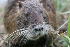 Funny beaver Stock Photo