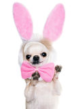Funny begging dog in a costume Stock Photography
