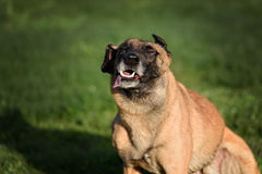 Funny Belgian Shepherd Dog. Cute Belgian Shepherd Dog, portrait in summer Stock Image