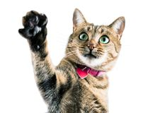 Funny Bengal cat in a pink collar waves his paw and looks into t stock photo