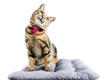 Funny Bengal cat sits on a soft pillow and tilts her head to the Royalty Free Stock Photography
