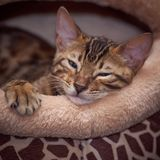 Bengal kitten. Funny bengal kitten at home Royalty Free Stock Photo